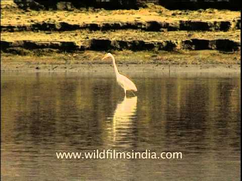 Large Egret Looking For Food While A Crocodile Suns Itself Behind