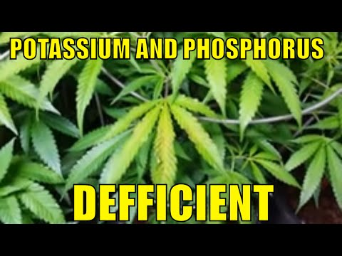 WHAT CANNABIS NITROGEN AND POTASSIUM AND PHOSPHOROUS DEFICIENCY LOOK LIKE.