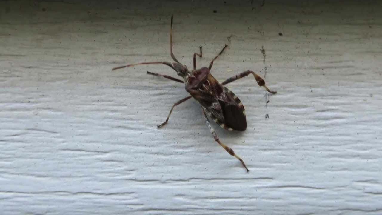 Western Conifer Seed Bug Looks Like A Giant Shield Or Stink Walking In The Gr Mvi 0474