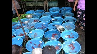 Aquarium fish business, go to market haiphong vietnam #2