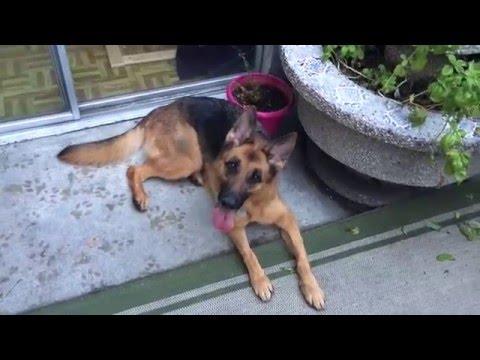 Crimson-German Shepherd Rescue - ADOPTED!!