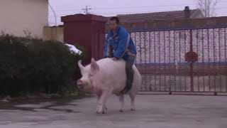 Hog Rider: Chinese farmer saddles his huge pig