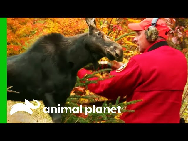 Moose With Deadly Brainworm Needs To Be Euthanized | North Woods Law