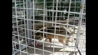 Loup devorant un poulet. le 18/09/2012.    Impressionant !