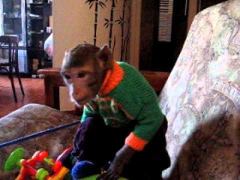 Если вы задались вопросами: где купить обезьяну, какую обезьяну купить, как выбрать обезьяну, сколько стоит обезьяна, как содержать обезьяну дома, где заказать вольер для обезьяны, где купить. Куплю лемура лори не дорого в лс. Москва. Продается мальчик обыкновенной «белоухой» игрунки д. Р.