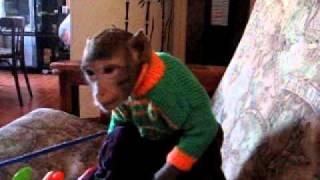 обезьяна в доме.