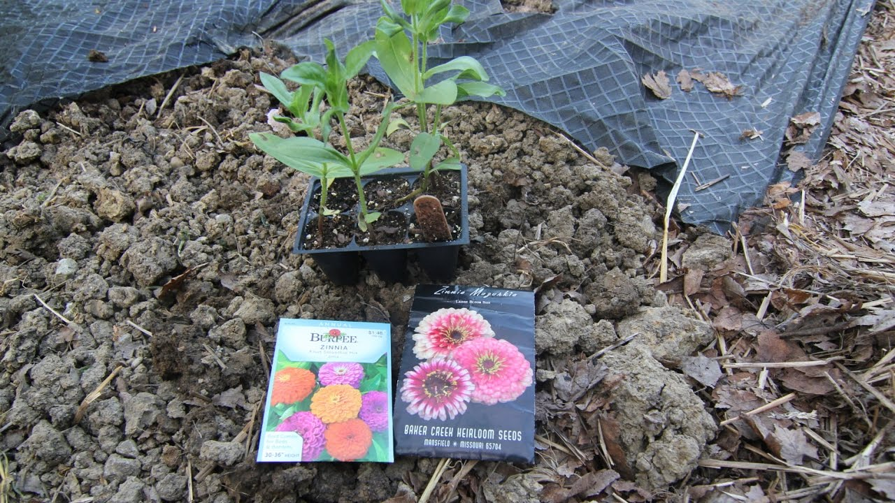 Planting zinnias my favorite summer annual flowers youtube my favorite summer annual flowers izmirmasajfo