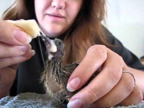 Baby Dove Feeding - YouTube