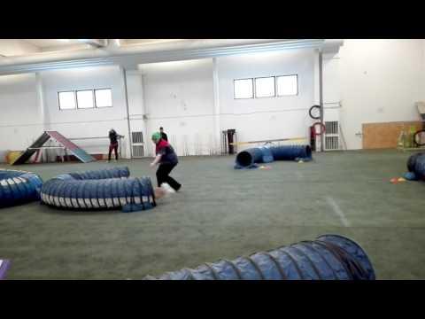 Tibetan Spaniel, agility tunnel course