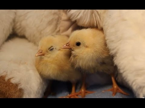 2 Baby Chicks With Stuffed Animal For A Mother Youtube