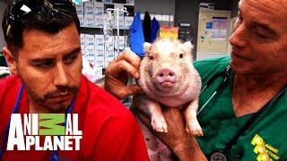 Castrando un cerdito doméstico | Dr. Jeff, Veterinario | Animal Planet