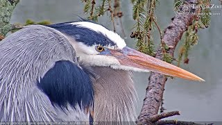 Preview of stream Trevor Zoo LIVE - Herons, Center Tree