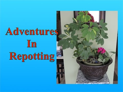 Adventures in Repotting - Cleaning up an Old Overgrown Mixed Planting