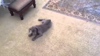 Weimaraner Puppy Plays With Cat