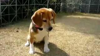2010/3/12 ビーグル犬 うらん Beagle dog Uran -- この映像は、ClipCast...