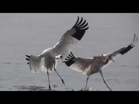 ソデグロヅル(Siberian crane)