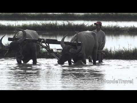 Paddy field ploughing with Water  Buffaloes Myanmar  rural life