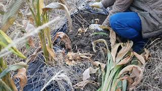강황(울금) 수확 //  유기농으로 키워드시면 좋아요