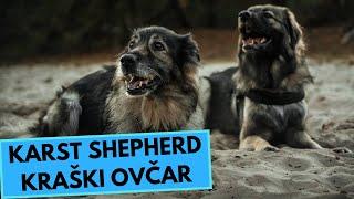 Karst Shepherd  TOP 10 Interesting Facts  Kraški Ovčar