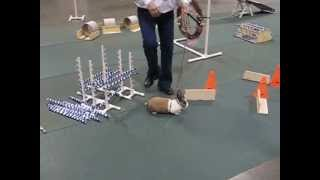 Rabbit Agility Course