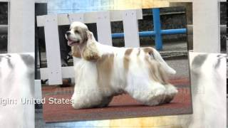 American Cocker Spaniel Dog Breed