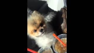 Pomeranian Like Boo Listening To Rap