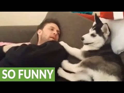 "Husky Puppy Has ""heated Debate"" With Human"