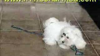 Great Puppie Maltese Only 3.8lbs Full Grow - True Tea Cup