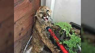 Cougar Cubs Rescued in Half Moon Bay Recover at Oakland Zoo