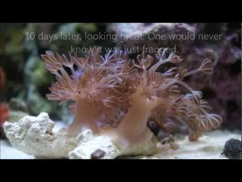 Easiest coral to frag...Anyone can do this.