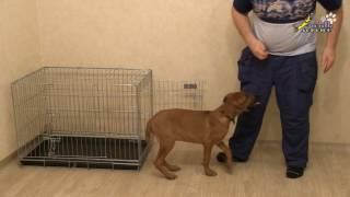Щенок риджбек, приучение к клетке, удобство человека за счёт мучения собаки