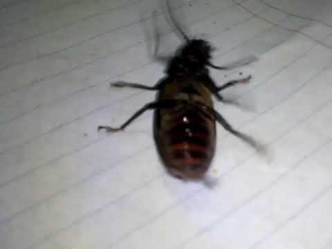 Cucaracha bailando cumbia!!  Llorar y llorar