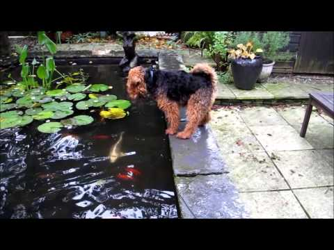 Colin The Welsh Terrier Takes a Dip.