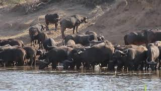 Download African Buffalo herd drinking water next to crocodile Mp3 and Videos