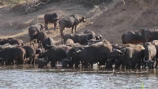 African Buffalo herd drinking water next to crocodile