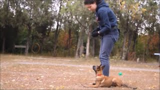 Belgian Malinois Puppy Training