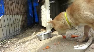 いい音を立てて美味しそうに人参を食べる山陰柴犬もみじです。