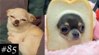 Funny and Cute Chihuahuas ❤ | FunMomy