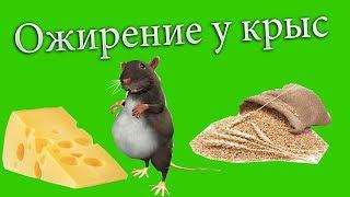 Как лечить ожирение у крыс / Чарлик взбесился /Оказание первой помощи при укусе крысы
