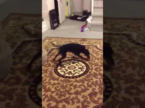 Manchester Terrier Kesha crawling