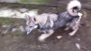 Продажа щенков западно-сибирской лайки