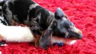 Ella Bean - Dappled Doxie Thumbnail