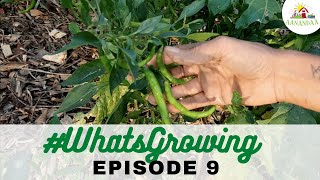 EP 9 | #WhatsGrowing in our Sunken Garden [09.10.2020]