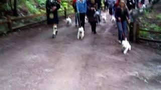 2010 Westie Walk (start)