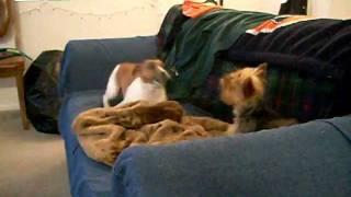 Jack Russell V. Teacup Yorkshire Terrier - Sofa Battle