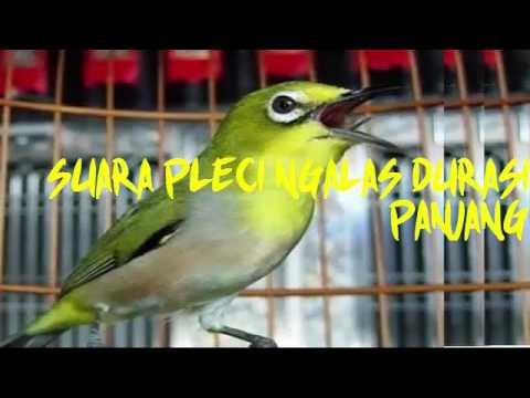 MASTERAN SUARA PLECI NGALAS DURASI PANJANG MP3