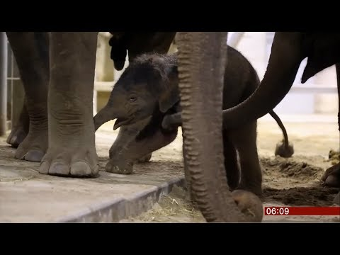 baby-elephant-takes-first-steps-(fun-story)-(belgium)---bbc-news---9th-june-2019