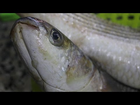 MULLET FISH CLEANING & HEAD CUTTING