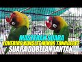 Suara Burung Masteran Suara Lovebird Konslet Minor Tonggeret Suara Dobelan Jantan  Mp3 - Mp4 Download
