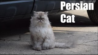 Persian Cat Video and Sound Effect (4k)